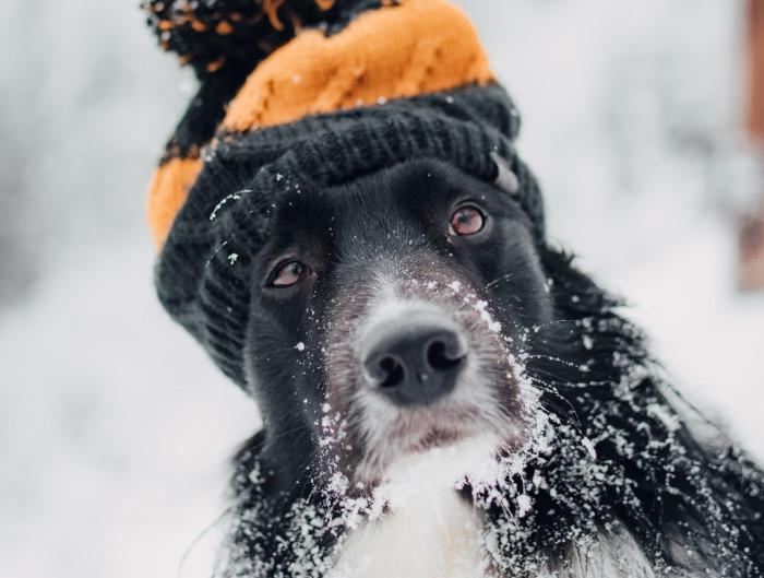 Hund in Winterlandschaft unterwegs mit Mütze schneebedeckt